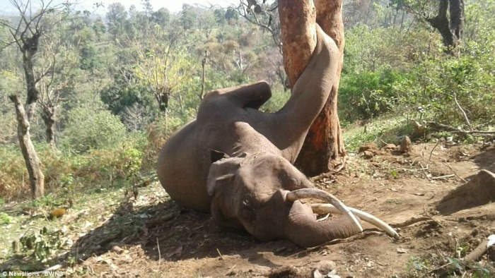 elephant dies after getting its leg stuck in a tree trunk