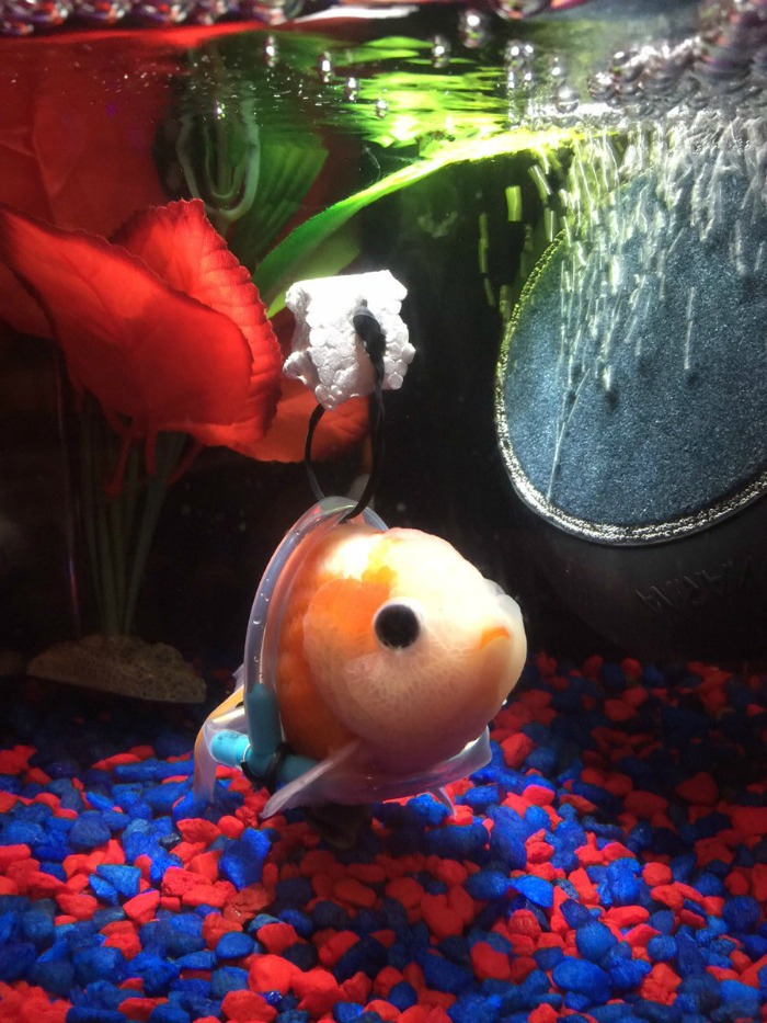 Goldfish with a wheelchair