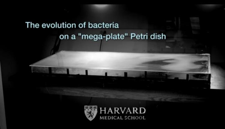 Harvard Medical School Petri Dish evolution of bacteria experiment