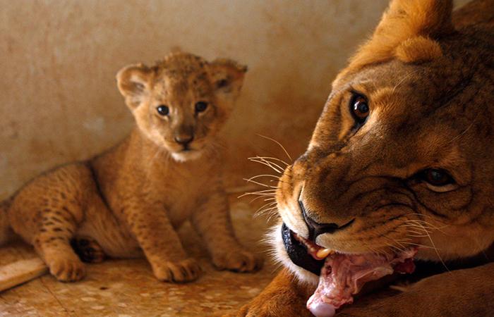 Lion Eat Chicken