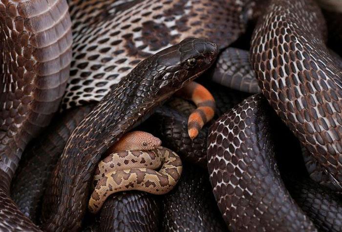Cobra snake in Jogi Dera