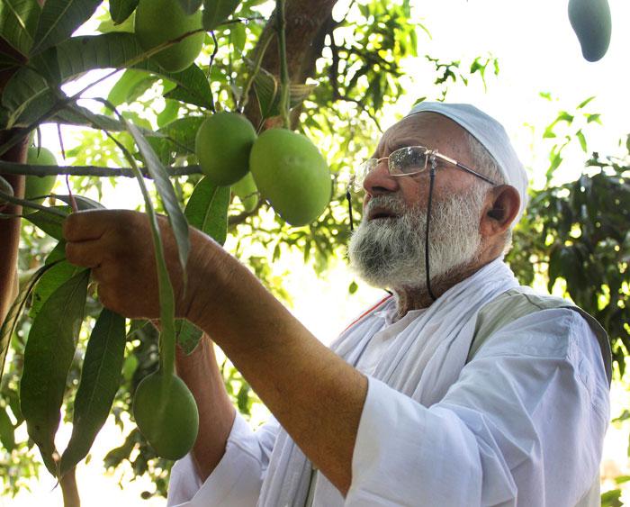 Yogi Mango