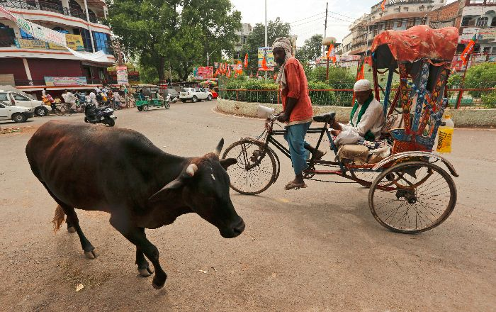 Cattle Slaughter Ban