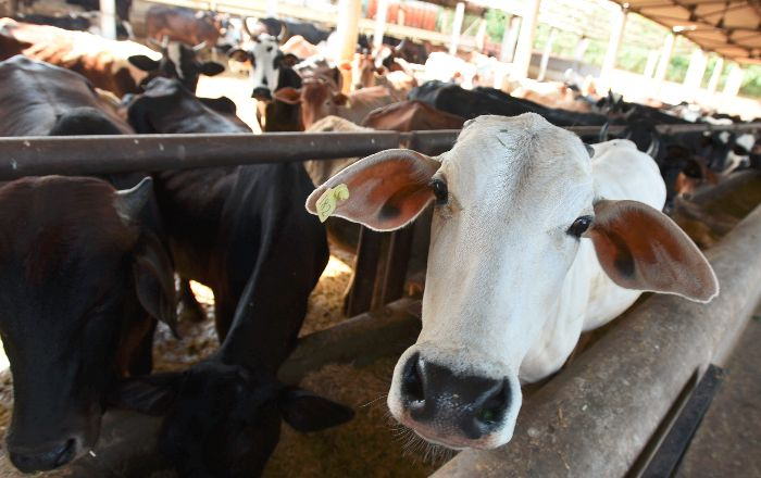 Cattle Sale For Slaughter
