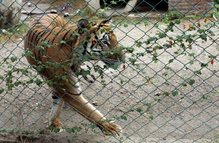 shoot tiger