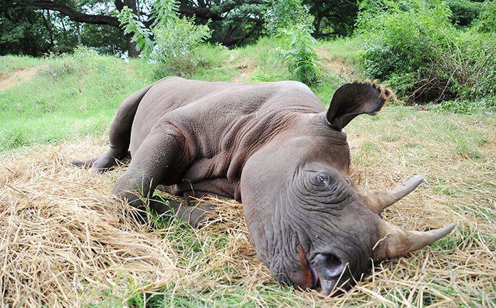 Female Rhino