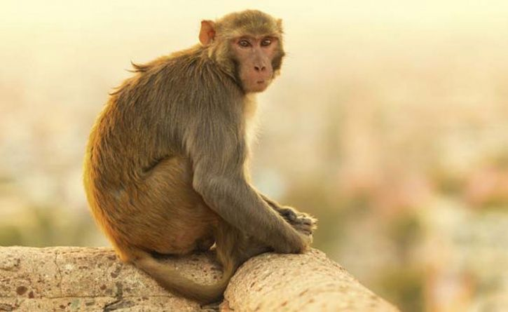 Monkey Sacrifices Life In A Bid To Save Owner's Pigeons