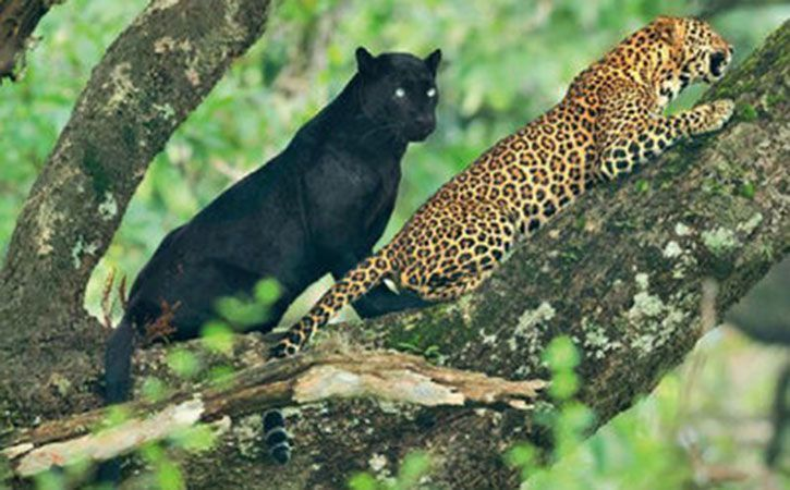 Panther, Leopard