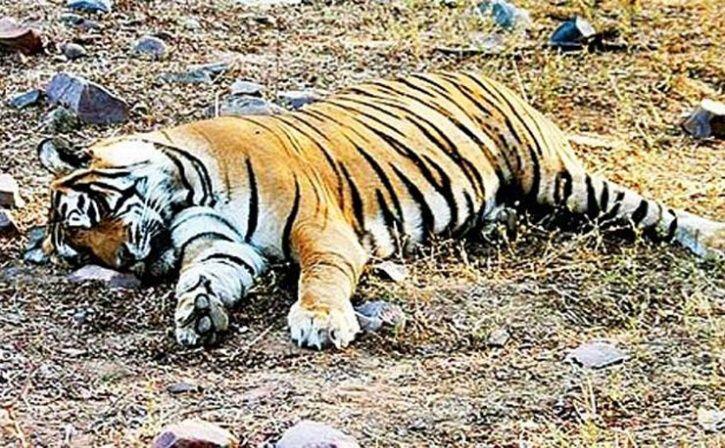 tiger killer