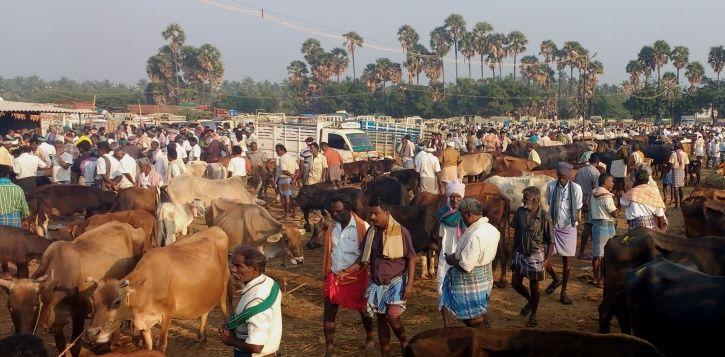 Cattle Slaughter