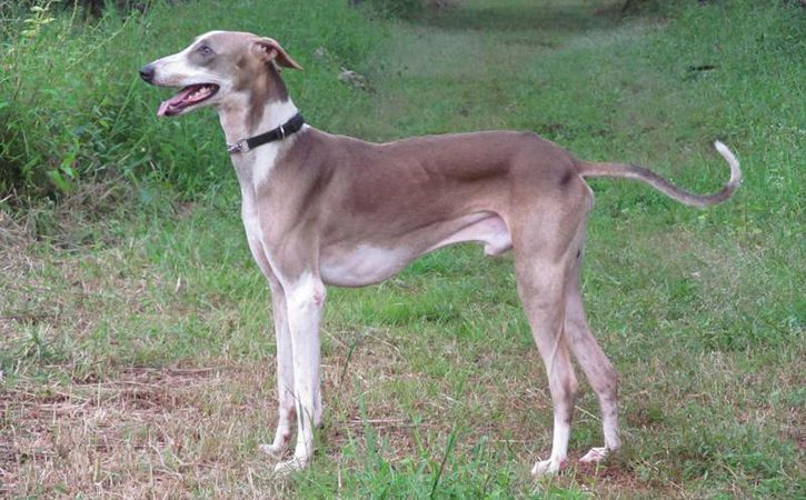 No More German Shepherds Or Swiss Dogs, India's Own Mudhol Hound Will Help  The Army In J&K