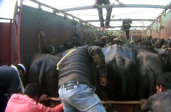 dairy farms
