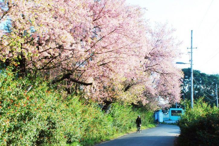 Shillong/cherry blossom festival