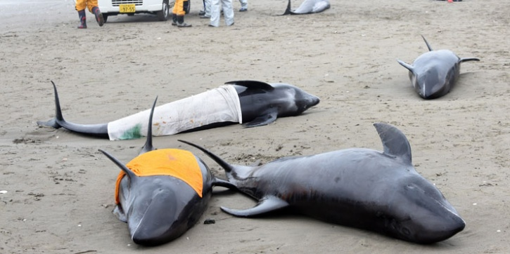Japan Kills 177 Whales In Pacific Whaling Campaign