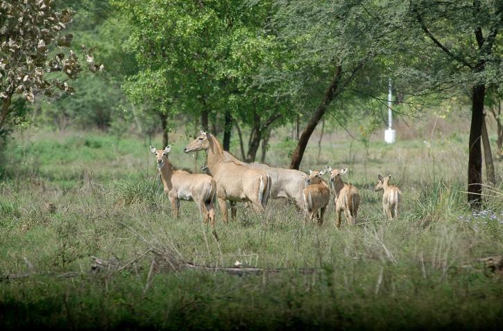 Nilgai Herd