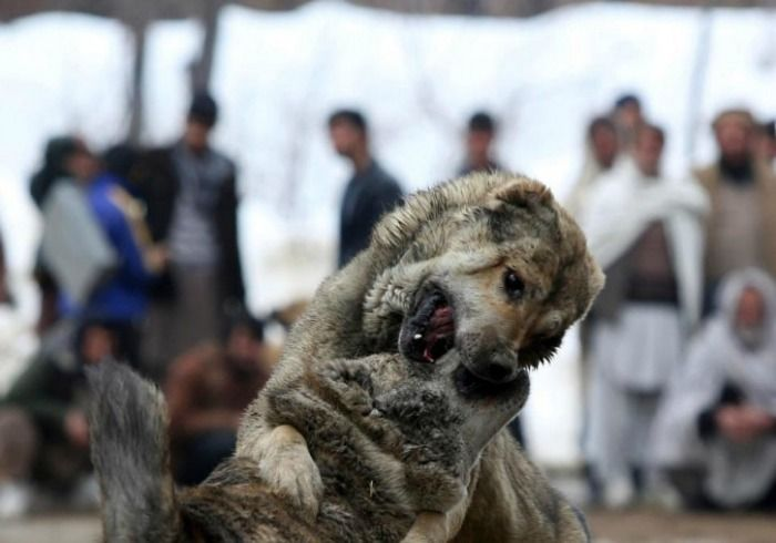 Kabul dog fight