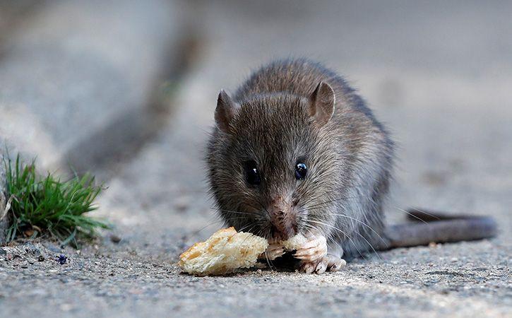 Rat Nibbles Patient Eye