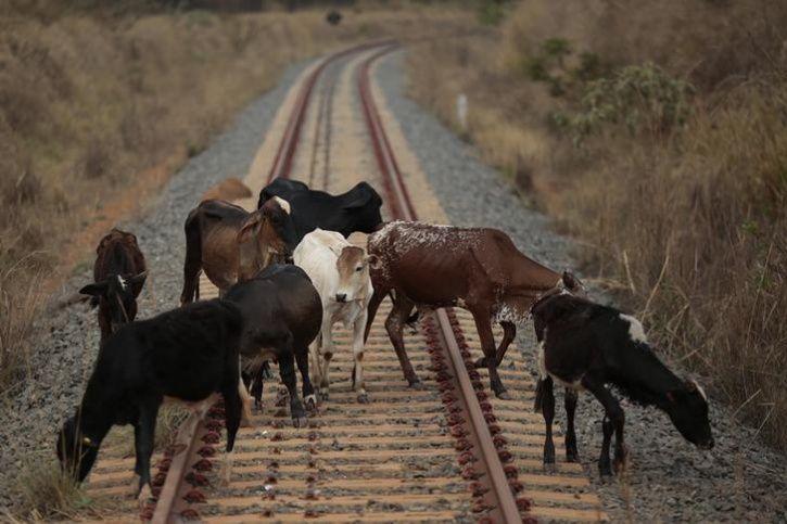 20 Cows Run Over By Express Train In Delhi