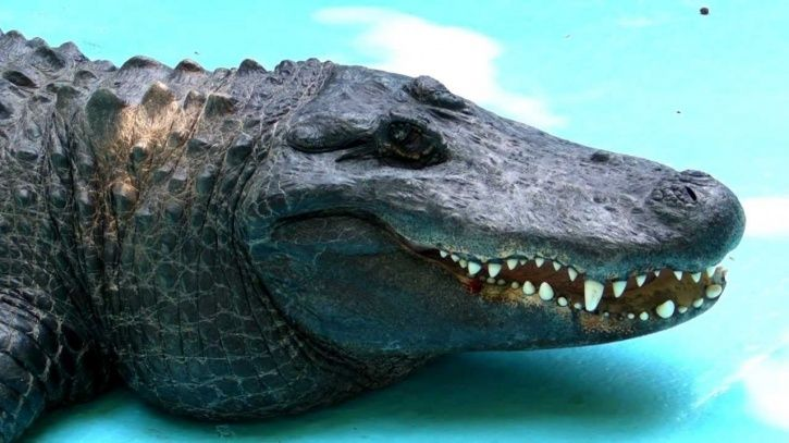 American Alligator Muja Has Survived Two Carpet Bombings In World War & Is Still Kicking