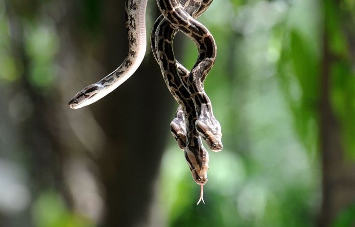 Andhra Pradesh, Kerala, snake bites, reptiles, rain water, sarpa shanti yagna, snake god