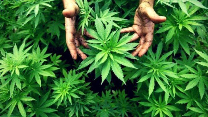 Marijuana in tripura