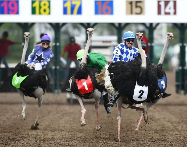 Ostriches raced each other people riding them