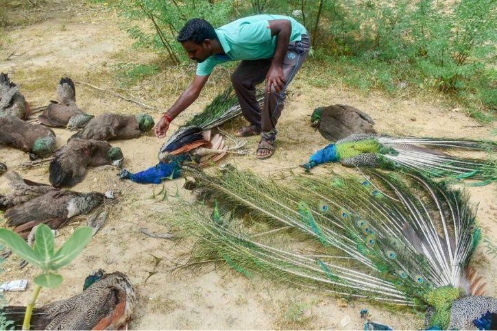 Peacocks found dead, forest officials suspect poisoned.