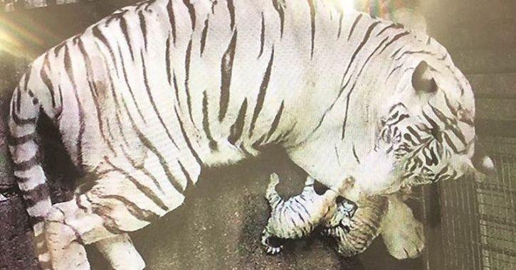 Royal Bengal Tiger Karan delhi zoo