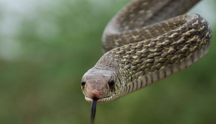 snake bites, andhra pradesh