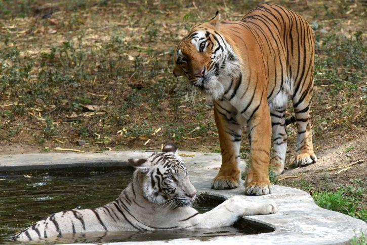 Whiter Tiger Cub