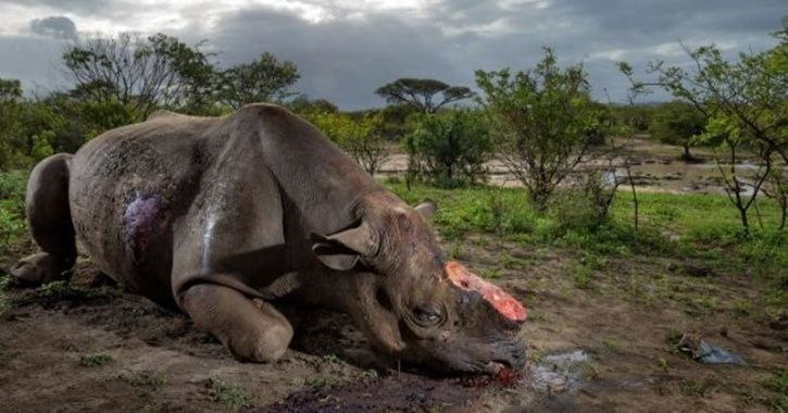 Adult Male Rhino Found Dead With Horn Removed In Kaziranga, Assam; Sixth Case In 2018