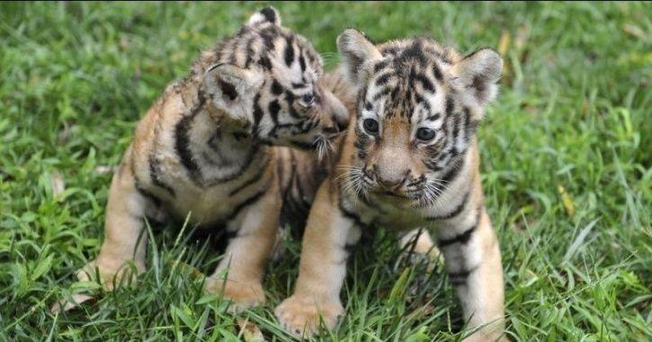 avni cubs