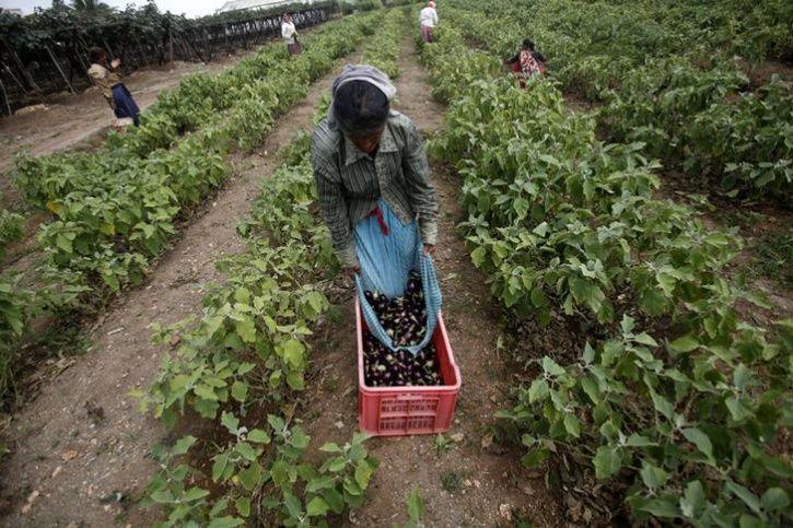 Maharashtra Farmer Destroys Brinjal Plantation