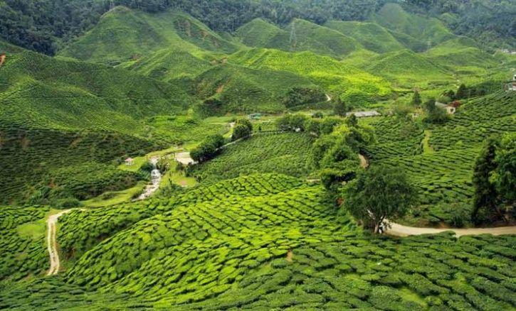 Manju Baruah assam tea estate