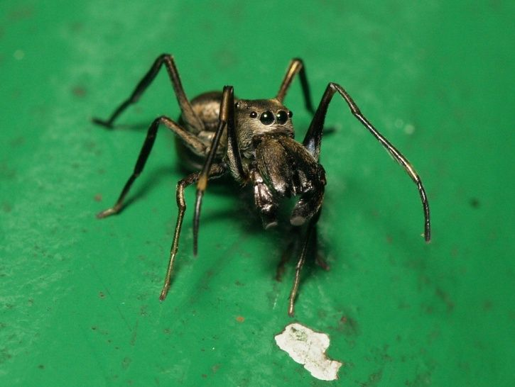 There Is A Species Of Spider That Produces Milk That Is Even More Nutritious Than Cow's Milk!