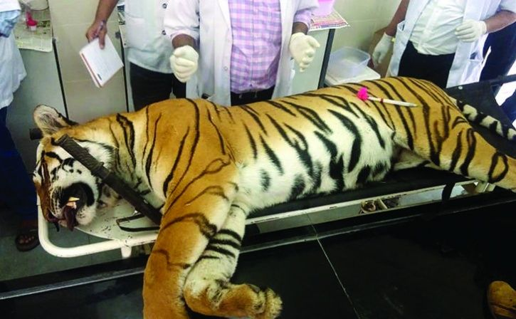 Tigress Avni Was Shot Using Unauthorised Weapon