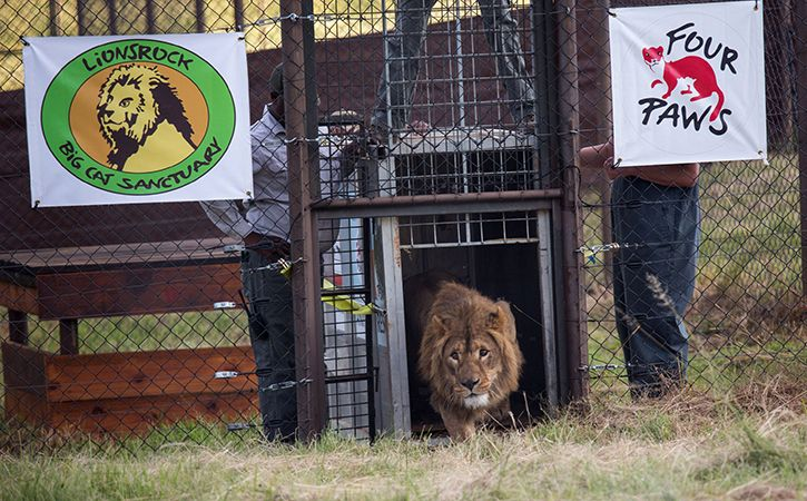 2 Lions From Mideast War Zones Head To South African Refuge