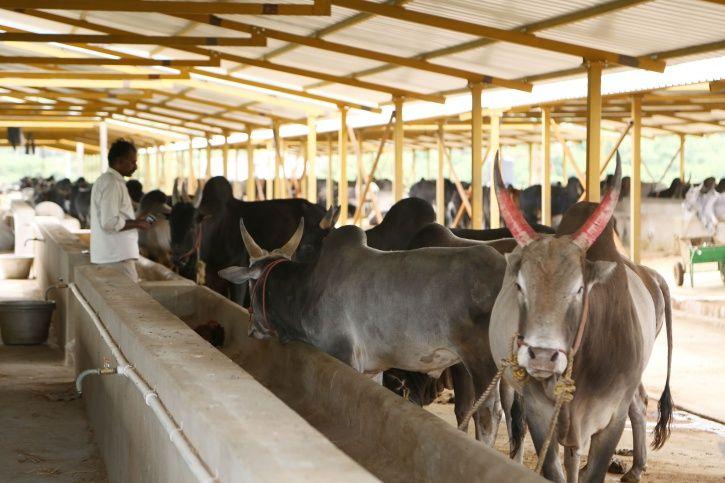 40 Million Cows To Soon Have Aadhaar-like Unique ID Called Pashu Sanjivini