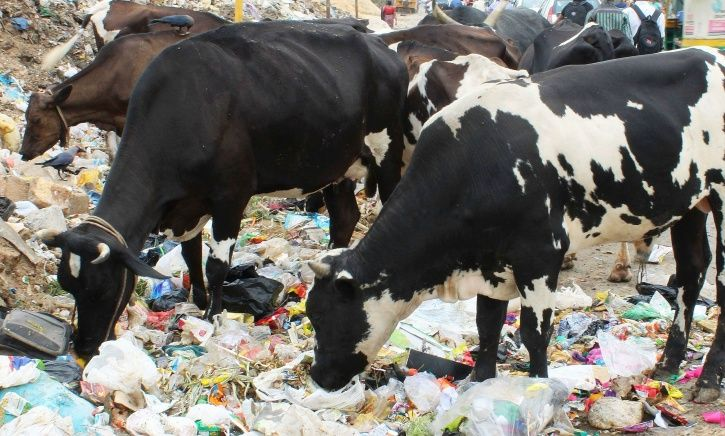 80 Kilo Plastic Waste Removed From Cows Stomach