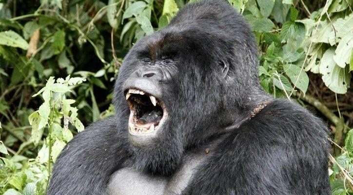gorilla laughing