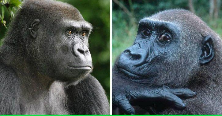 gorillas dating website