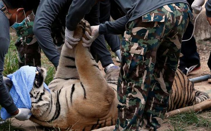 Surgeon To Gift Artificial Limb To Tiger With Amputated Paw