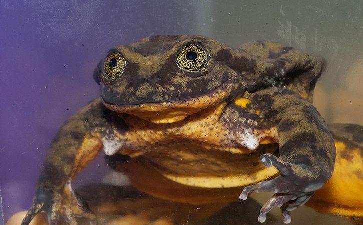 World Loneliest Frog