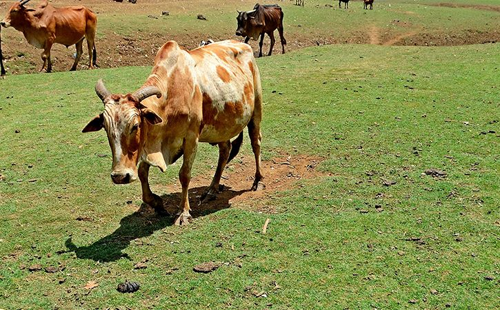 Asked To Remove Scene Featuring Cow In New Movie