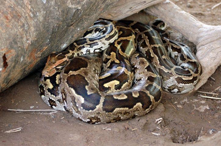 Kerala Man Smuggles Python