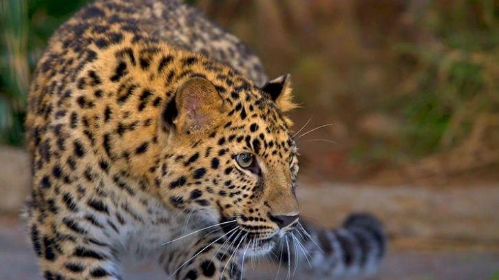 leopard ate two kids