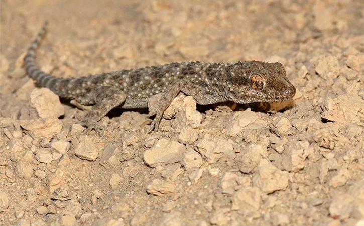 New Species Of Reptile Found In Megamalai Wildlife Sanctuary
