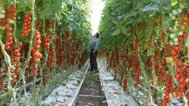 Tiniest Cherry Tomato
