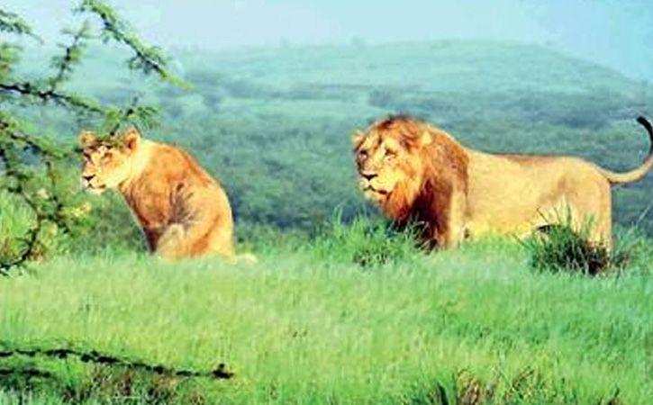 Gir Grasslands May Be Next Tourist Hot Spot!
