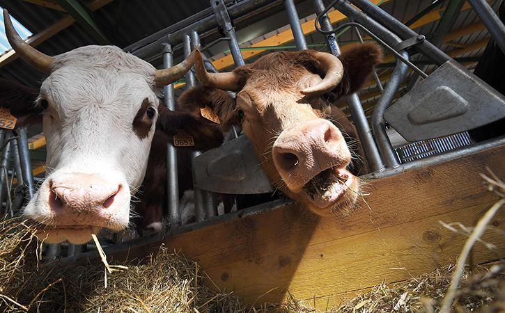 Modi To Gift 200 Local Cows To A Village In Rwanda